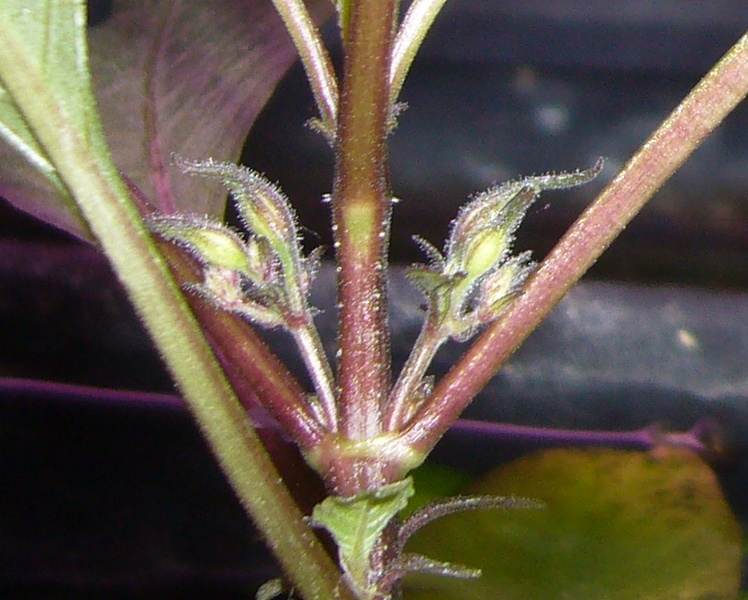 hygrophila corymbosa siamensis. Black Bedroom Furniture Sets. Home Design Ideas