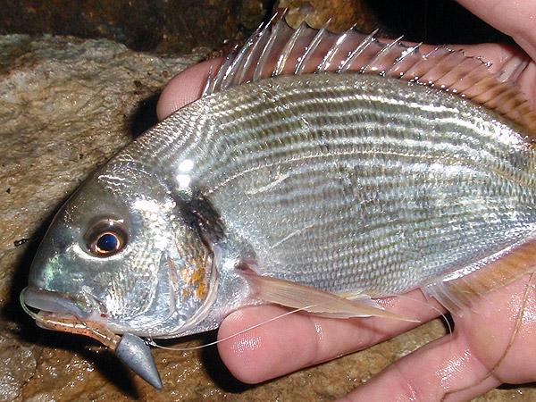 comment pecher au rockfishing