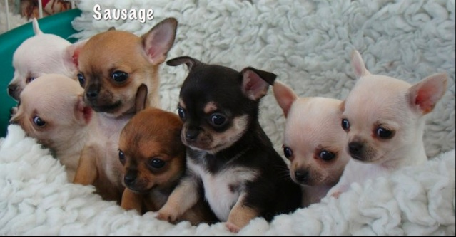 Bebés chihuahuas recien nacidos - Imagui