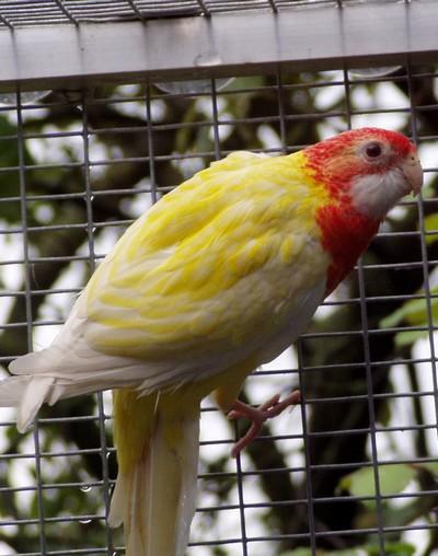 A quel age sortent les plumettes rouges chez une omnicolore rubino - A quel age une poule pond ...