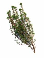 Les vertus des plantes le thym zaatar for Plante zaatar