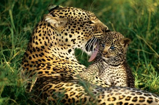 Le l opard de l 39 amour - Image leopard a imprimer ...