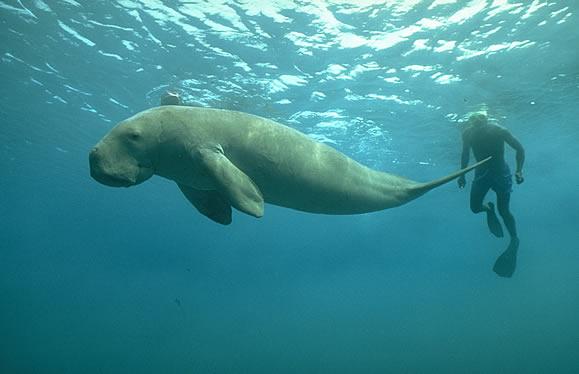 dugong11.jpg