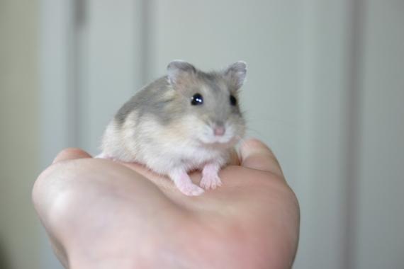 rongeurs hamster. Black Bedroom Furniture Sets. Home Design Ideas
