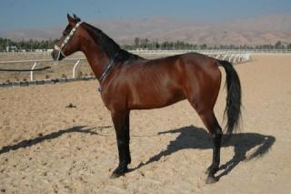 cheval arabe syrien