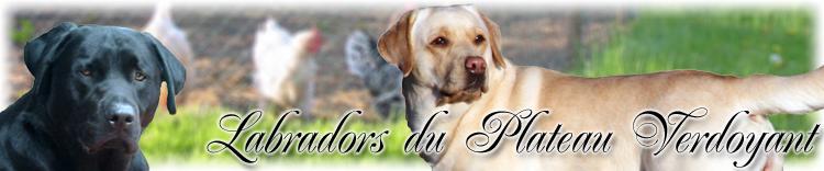 Labradors du Plateau Verdoyant