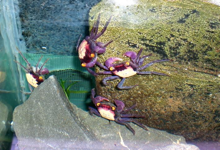 crabe crabe mandarin louaque