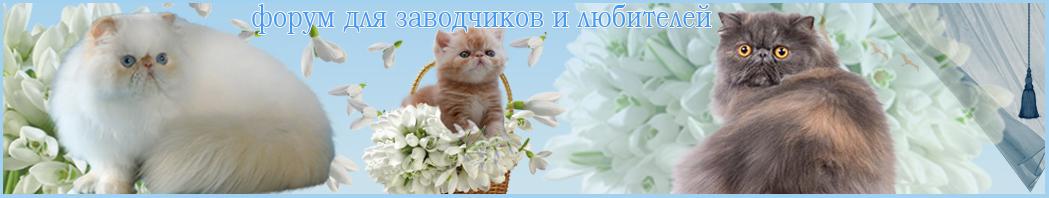 Персидские и экзотические кошки и не только о них