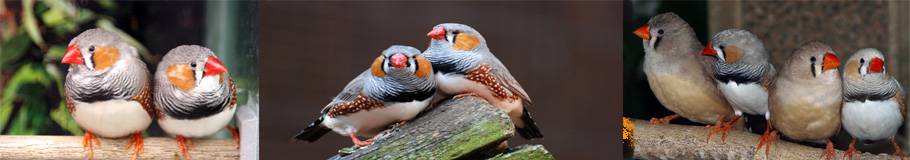 Diamante Mandarin ,Zebra finch