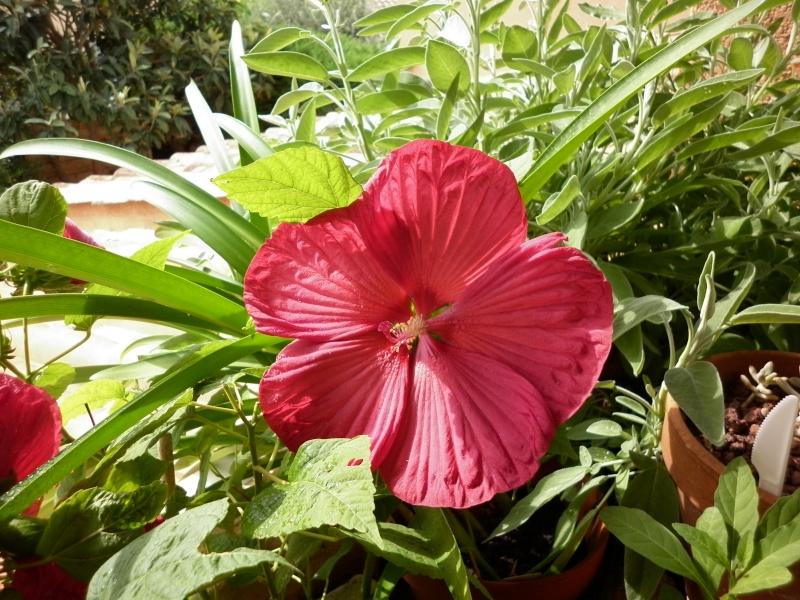 recolte des graines d 39 hibiscus moscheutos au jardin forum de jardinage. Black Bedroom Furniture Sets. Home Design Ideas