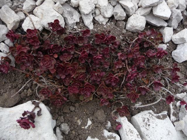 Un sedum qui ne fleurit pas sedum spurium 39 red carpet 39 for Amaryllis qui ne fleurit pas