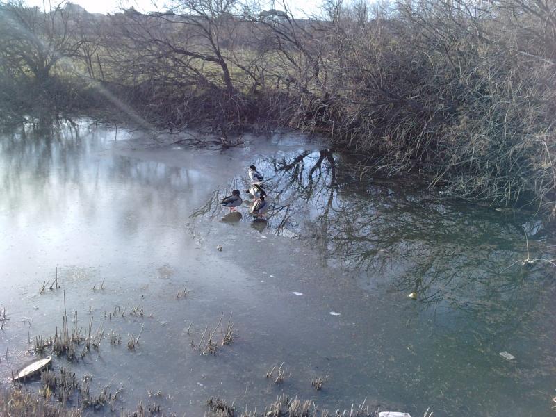 mare aux canards, les colverts dans le froid de Frontignan