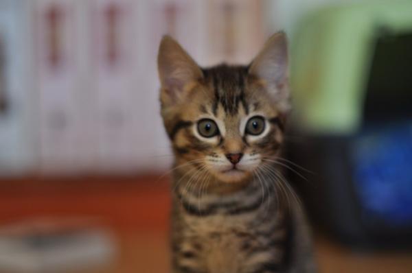 les chatons de l ecole du chat libre de toulouse tous coloris au choix 31