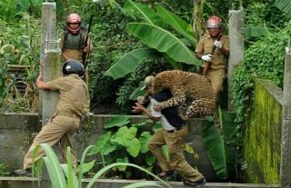 zoologie léopard attaque 6 personnes morsures Inde Siliguri forum félin fauve big cat juillet 2011