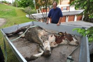 zoologie juin 2011 Gryon Vaud génisse tuée bovin Sébastien Sachot chien errant loup analyses ADN forum attaque de bétail