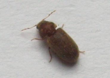 insecte inconnu dans ma cuisine aleks47. Black Bedroom Furniture Sets. Home Design Ideas