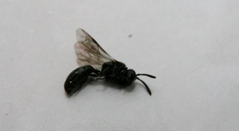 Insecte volant xylophage - Insecte vert volant ...