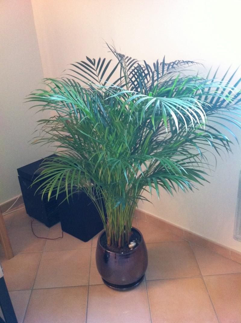 Kentia malade tache noires et blanches - Plante verte palmier d interieur ...