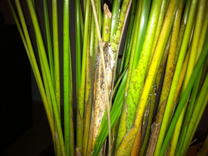 Kentia malade tache noires et blanches for Maladie plante verte interieur