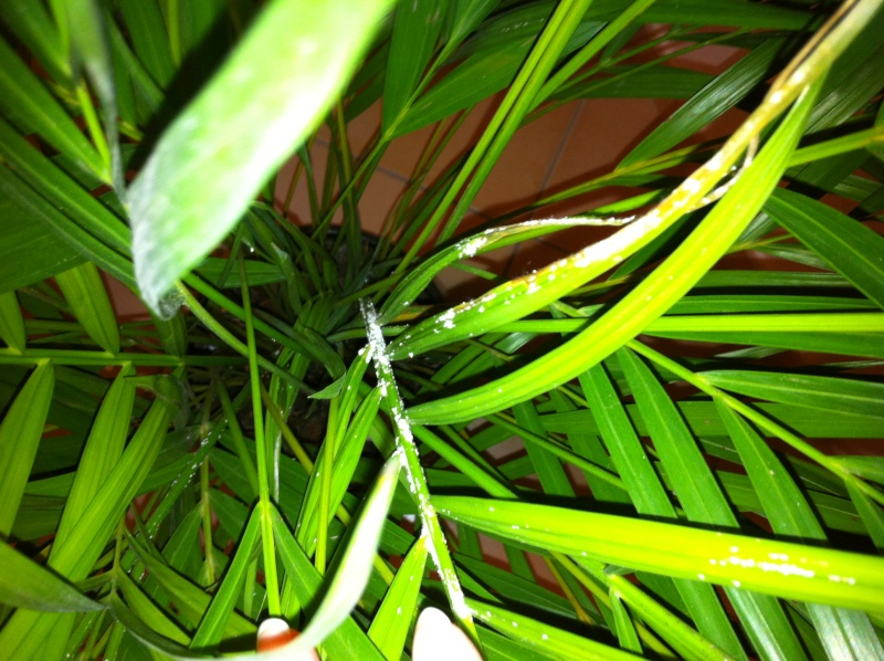 Kentia malade tache noires et blanches - Palmier hawaien feuilles jaunes ...