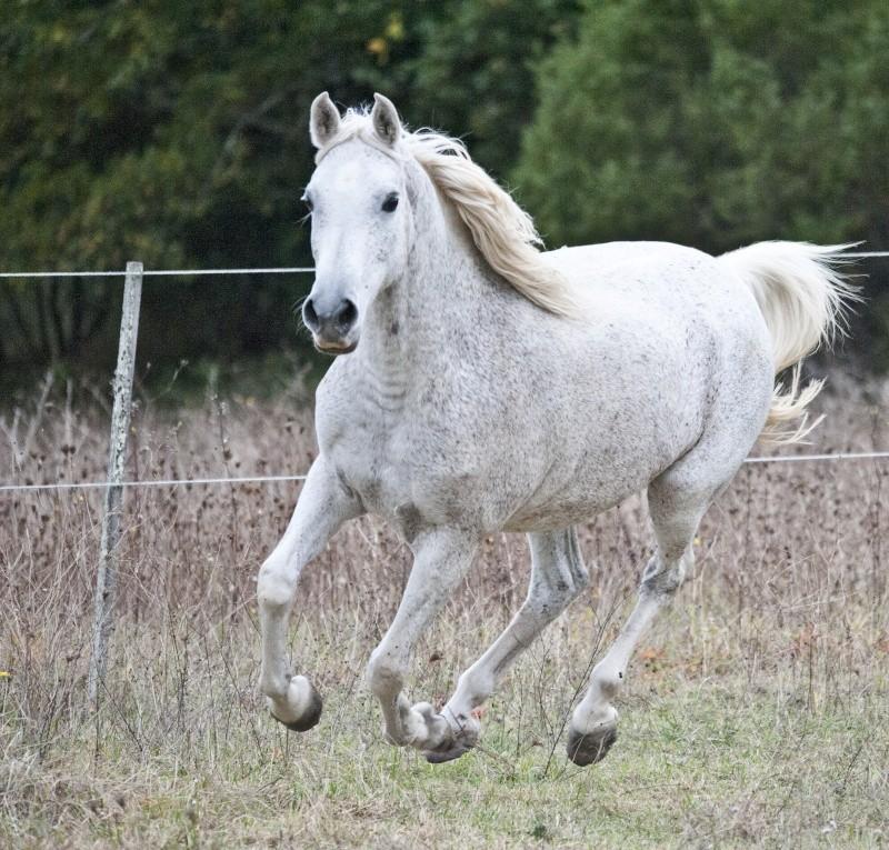 Cheval au galop - Comment dessiner un cheval au galop ...