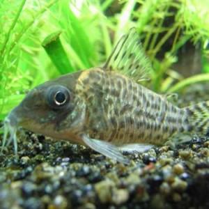 I pesci pulitori non mangiano solo escrementi rischio for Vendita pesci acqua dolce fredda