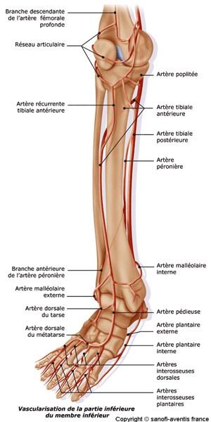 anatom19.jpg