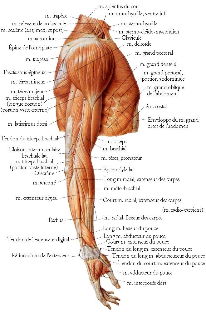 muscle24.jpg