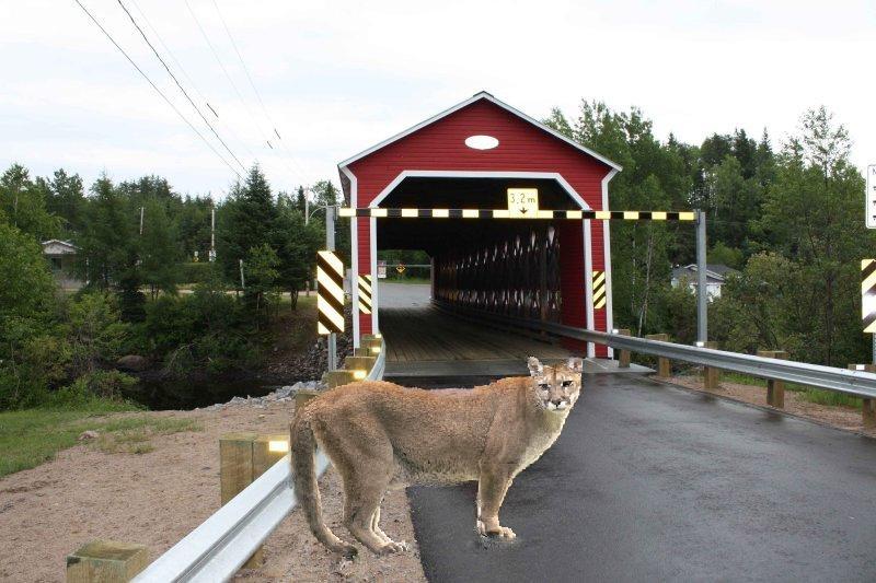 Cougar au quebec