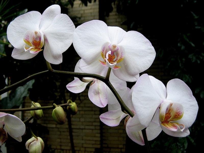 Orchidee Blanche Anniversaire