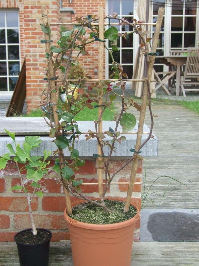 Bougainvillier - Comment tailler un bonsai ...
